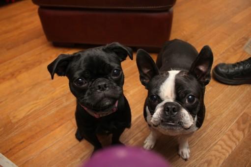 Boston Terrier Pug Mix Black And White Boston Terrier / Pug Mix